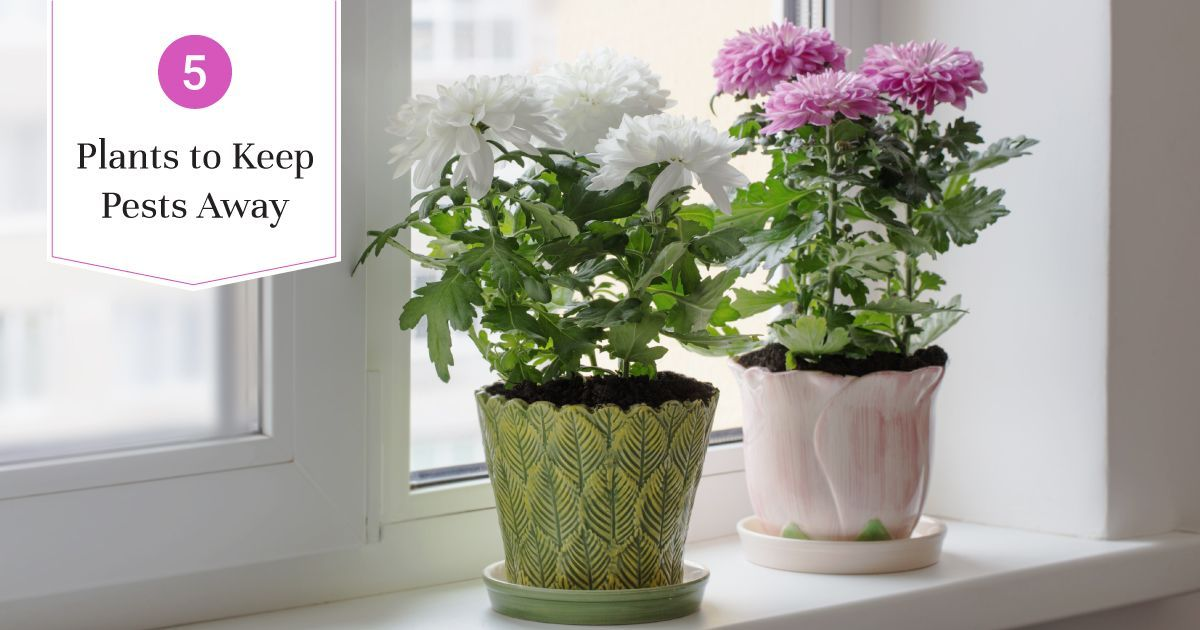 Pest Control with These 5 Plants