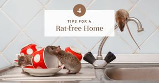 Effective Ways to Get Rid of Rats